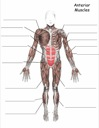Homeschool Helper Online's Free Muscles - Anterior Worksheet Worksheet