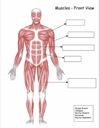 Homeschool Helper Online's Free Muscles - Front View Worksheet Worksheet