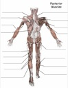 Free Label the Posterior Muscles Worksheet
