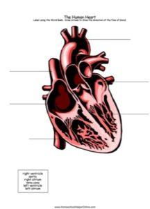 Label the Human Heart Worksheet