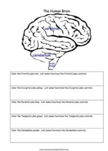 Human Brain Worksheet