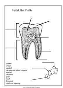 Tooth labeling worksheet homeschool helper online label the teeth worksheet ccuart Choice Image